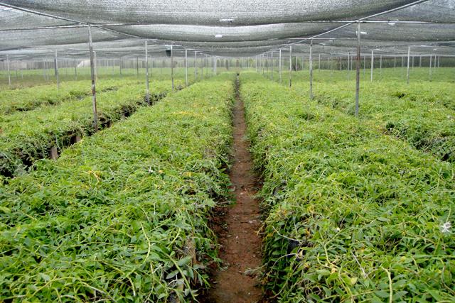 G:\gz\湄公河集团概况\生物科技\生物科技图片\大棚种植-石斛3.jpg