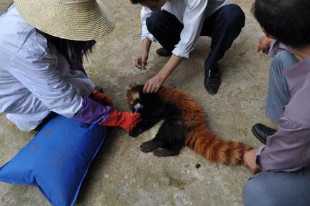 G:\gz\湄公河集团概况\生物科技\生物科技图片\拯救小熊猫.jpg
